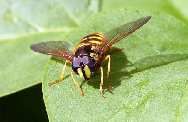 Chrysotoxum cautum - Copyright Hugues Mouret